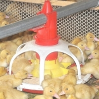 Al-Zn Coating 1.5mm Automatic Duck Feeder For Farm House Equipment Manufactures