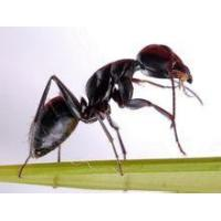 Black Ant Extract Polyrhachis vicina Roger, 10:1 high quality
