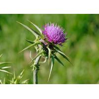 China Natural 80% Silymarin Milk Thistle Extract Used to detoxify and reduce the blood fat on sale