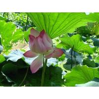 Vitamin Lotus Leaf Extract Manufactures