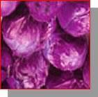 Cabbage Red Color Manufactures