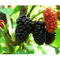 Mulberry Extract Manufactures