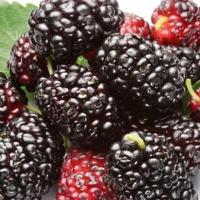 hight quality mulberry freeze-dried powder Manufactures