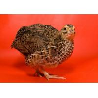 Broiler Quail Grower Feed Manufactures