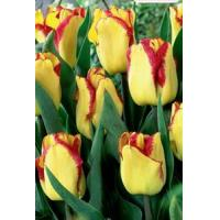 Cheap Flowers Tulip, Cape Town for sale