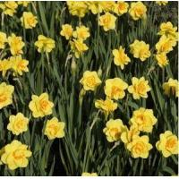 Cheap Flowers Daffodil, Tahiti for sale