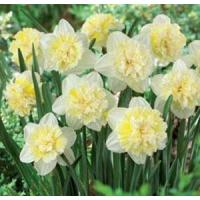 Cheap Flowers Daffodil, Ice King for sale