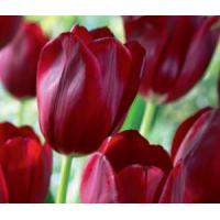 Cheap Flowers Tulip, National Velvet for sale