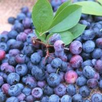 ISO&GMP Chinese Bilberry P.E(1-25% Anthocyanidins) Manufactures