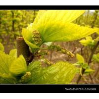 Mulberry Leaf Extract of 2% DNJ Manufactures