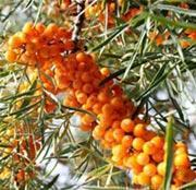 SeaBuckthorn Seed Oil Manufactures