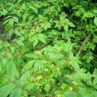 Cheap twig of Winged Euonymus P.E for sale