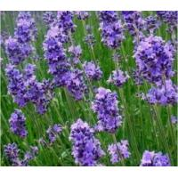 China Dried herbs Lavender flowers dried on sale